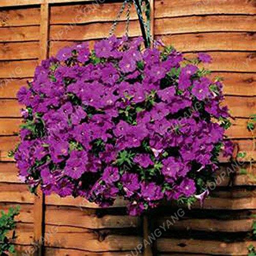 200PCS Pure-couleur Pétunia Graines de fleurs vivaces Graines Fleurs pour jardin Bonsai Pot plantation Pétunia Pour la maison Décoration Bourgogne