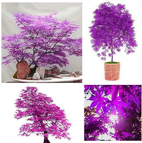 Be-Creative Lot de 10 graines de graines d'érable japonais Violet