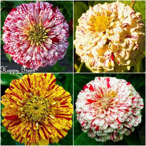 Zinnia Dahlia - Palo de menta - 340 semillas - Zinnia Elegans - Pumila Flowered