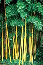 green timber bamboo