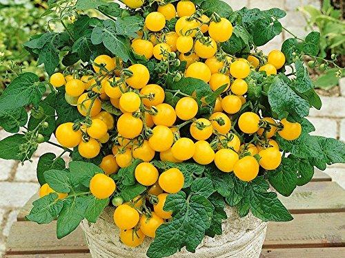 Balkontomate - Buschtomate - gelbe Cherry - Windowbox yellow - 20 Samen