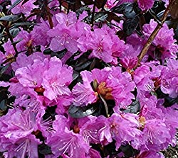 rhododendron plant on Amazon.