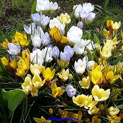 225 Blumenzwiebeln Krokuszwiebeln Narzisse Krokus Anemone Winterling Bienen- Tischlein deck dich