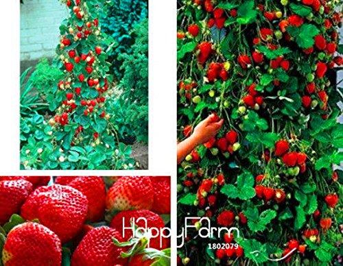 Nouvelle arrivée! 200 PCS / Sac d'escalade Graines Red Strawberry Avec GOÛT salubres * NON-OGM Strawberry Mont Everest * COMESTIBLES * Fruit, #