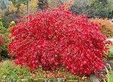 Hoja de arce japonés rojo de encaje, Acer palmatum atropurpureum Dissectum, 30 semillas de árboles