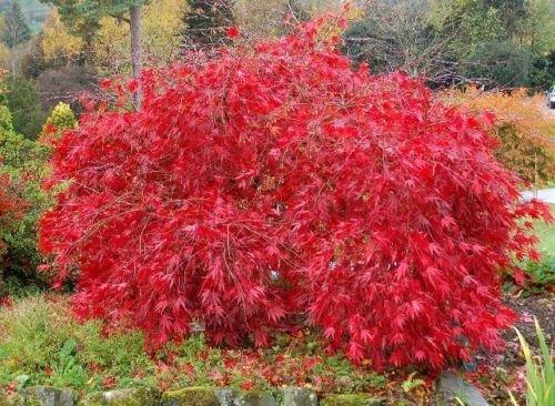 Rouge Dentelle Feuille d'érable japonais, Acer palmatum atropurpureum dissectum, 30 graines d'arbres