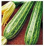Semillas de calabacín rayado de Apulia - verduras - cucurbita pepo - aprox. 45 semillas - las mejores semillas de plantas - flores - frutas raras - calabacín rayado de Apulia - idea de regalo