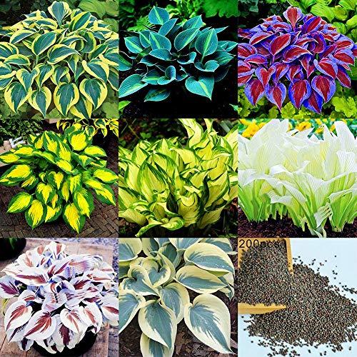 Sytaun 200 Stück Gemischte Farbe Hosta Plantaginea Samen Duftende Wegerich Bonsai Dekor Pflanze Einfach Zu Pflanzen, Zierpflanze Blau Hosta Samen