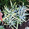 【種子】Cotyledon orbiculata var. Dactylopsis コチレドン・ダクティロプシス◎厚い葉を対生させ小潅木状になるベンケイソウ科塊根茎種◆10粒 [並行輸入品]