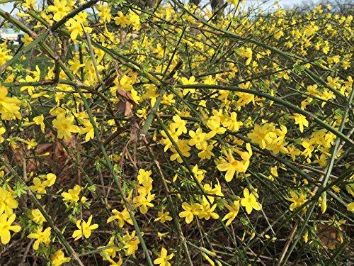 Jasminum nudiflorum Echter Winter-Jasmin Kletterpflanze im Topf gewachsen (60-80cm)
