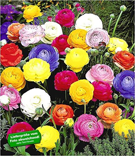 BALDUR Garten Gefüllte Ranunkeln, 30 Stück Blumenzwiebeln Ranunculus asiaticus