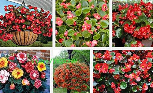 100pcs gratuites d'expédition / lot Red Begonia graines graines de fleurs