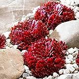 Qulista Samenhaus - Rarität 100pcs Korallenroter Hauswurz Sukkulenten Blumensamen winterhart mehrjärhig fürs Beet, Schalen und Steingärten