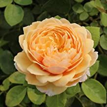 Own-Root One Gallon Charles Darwin David Austin Rose by Heirloom Roses