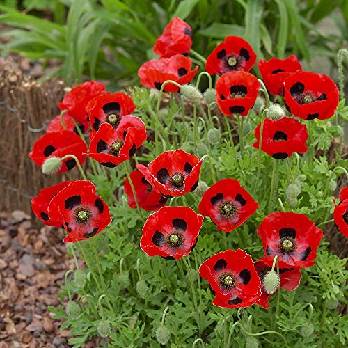 Shop Meeko Kings Seeds Papaver (Coquelicot) Communtatum Ladybird 500 graines