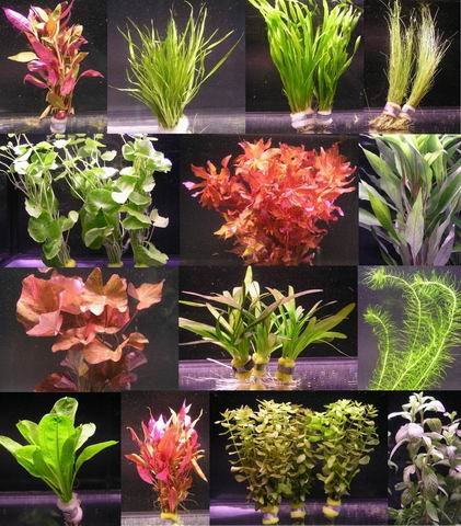 6 Verschiedene Bunde mit mehr als 40 Aquarium-Pflanzen - buntes Sortiment für EIN 60 Liter Aquarium, Wasserpflanzen für Vorne, Mitte und Hinten
