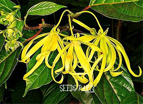 100 graines / Lot Nouvelles Graines 2015! Cananga odorata, Ylang-Ylang Arbre, conteneurs ou de plantes d'intérieur graines de fleurs