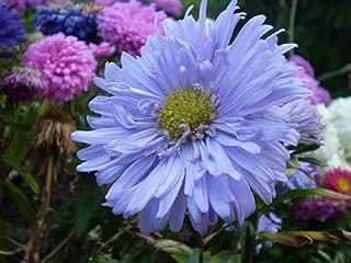 600 Seeds Callistephus chinensis China Aster Blue Purple Matsumoto Flower