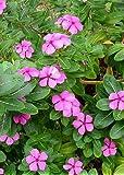 TROPICA - Pervinca del Madagascar (Catharanthus roseus syn. Vinca roseus) - 400 Semi- Africa