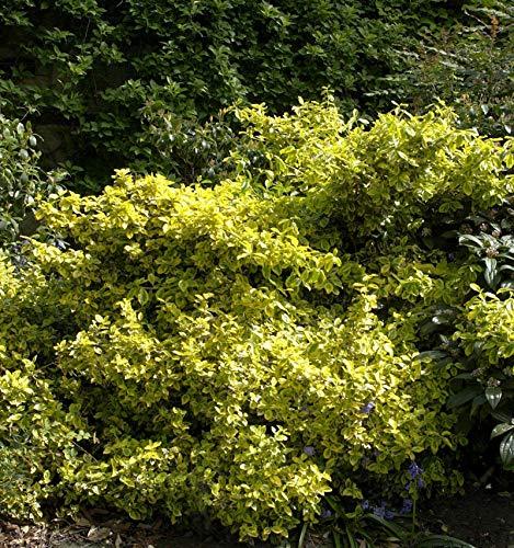 Gelbbunter Spindelstrauch Aureopictus...