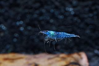 Best blue dream shrimp temperature Reviews