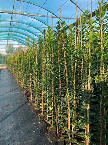 Coppia 2 Piante Di Corbezzolo Arbutus Unedo Frutto Albero da Frutta 1 Anno 1,10 Mt