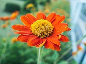 Mexican Sunflower (Goldfinger) Flower Seeds,100 Heirloom Sunflower Seeds Per Packet, Non GMO Seeds, Isla's Garden Seeds