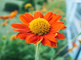 Mexican Sunflower (Goldfinger) Flower Seeds,100 Heirloom Sunflower Seeds Per Packet, Non GMO Seeds, Botanical Name: Tithon...
