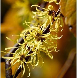 Witch Hazel Seeds (Hamamelis virginiana) 10+ Rare Medicinal Herb Seeds
