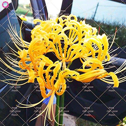 2PCS vrai Lycoris Radiata Ampoules Bana Ampoules (pas de graines) Fleurs en pot Ampoule d'intérieur Bonsai usine pour jardin 9