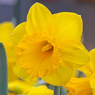 Yellow Trumpet Daffodil Dutch Master - 125 narcissus flower bulbs - Buy in Bulk and Save