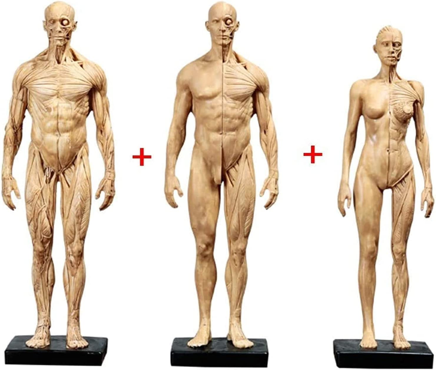 Human Model Max Max 78% OFF 59% OFF Craft 11 Inch Female and Anatomi Male Anatomy Figure