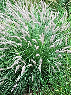 Perennial Farm Marketplace Pennisetum orientale ((Oriental Fountain) Ornamental Grass, Size-#1 Container, Pale Pink Plumes