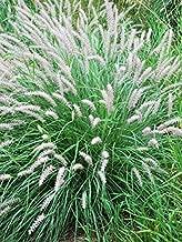 Perennial Farm Marketplace Pennisetum orientale ((Oriental Fountain) Ornamental Grass, Size-#1 Container, Pale Pink Plumes