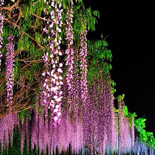AIMADO Samen-10 Stück Japanische Blauregen Samen Exotische bio blumensamen Wisterie, winterhart mehrjährige Pflanze ideal für Garten, Balkon & Terrasse
