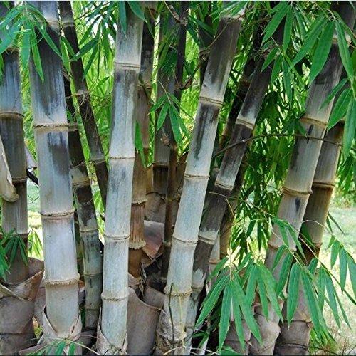 100pcs Phyllostachys pubescens Moso graines-bambou Graines Jardin Famille Jardin Plantes Graines Décor T36