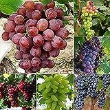 30 piezas de semillas de uva Mezclar variedades de frutas de escalada de sombra esencial al aire libre plantación de alto valor ornamental DIY decoración del patio de la granja del hogar