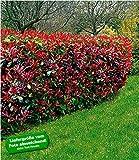 BALDUR-Garten Photinia-Hecke'Red Robin',5 Pflanzen