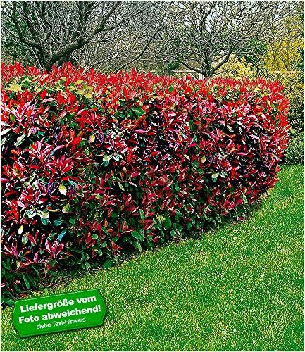 BALDUR-Garten Photinia-Hecke'Red...