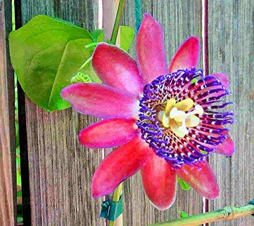 100pcs super rare graines Passiflore plante bonsaïs en pot de fleurs rares Passiflora plantes ornementales pour le jardin à la maison 3