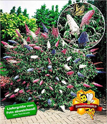 BALDUR Garten Sommerflieder 'Papillion Tricolor' Buddleia, 2 Pflanzen Buddleja davidii
