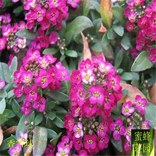 Hornspear Graines de moutarde Graines Petite fleur blanche Jade papillon taux de germination des graines Environ 100 graines 3