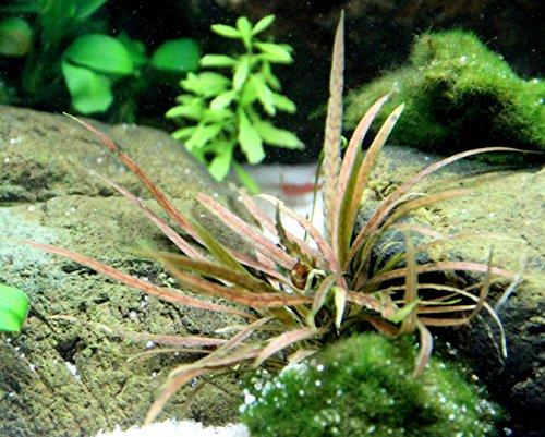 WFW wasserflora Weißblühender Wasserkelch/Cryptocoryne albida 'Brown'