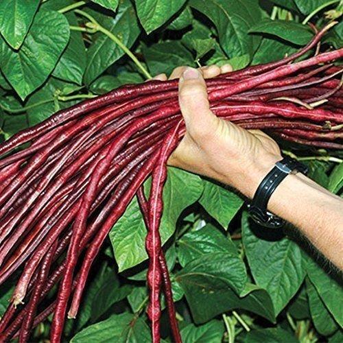 "Rote Meterbohne, Spargelbohne\""Yard long\"" 20 Samen Super Ertrag an extra langen Bohnen"