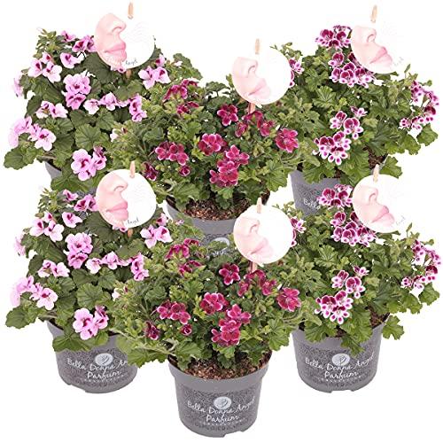 Duftgeranie | Pelargonium pro 6 Stück in 3 Farben - Freilandpflanze im Anzuchttopf ⌀12 cm - ↕20-25 cm