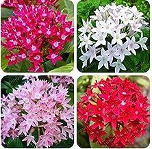 Pentas Lanceolata Flower Seeds Starry Flowers Seeds Purify Indoor Outdoor
