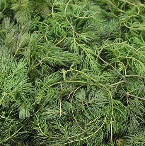Klärpflanze! Ceratophyllum demersum
