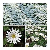 Prodotti di qualità dal giardino di Humphreys Colore : Bianca Altezza:25cm Taglia: 5/6 Bulbi da fiore sono facili da coltivare