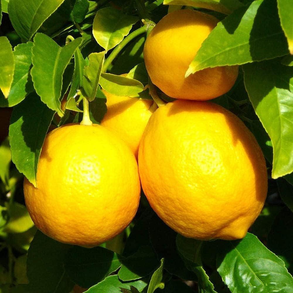 10 Piezas Limonero Semillas Árboles Frutales Enanos Plantación Eficiente En Jardines Al Aire Libre Fácil De Cuidar Adecuado Para Principiantes
