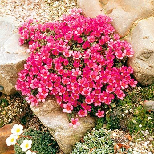 Yukio Samenhaus - Raritäten Roter Polstersteinbrech Bodendecker pflegeleicht Blumensamen winterhart mehrjährig Steingarten-Pflanze zur Dachbegrünung